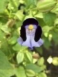 Travancorica Torenia или цветок Bluewings или дужки Стоковое Изображение