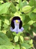 Travancorica Torenia или цветок Bluewings или дужки Стоковое Изображение RF
