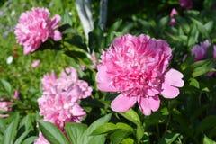 Travaux de jardinage Jardinier coupant des lis de deadheading dans le Gard photos libres de droits