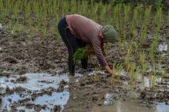 Travaux sur le terrain de riz Photo libre de droits