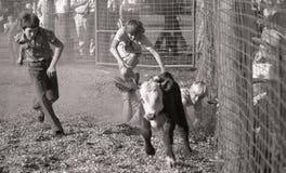 Trave essa vitela Foto de Stock