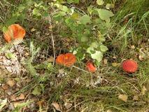 trave zelenoy gustoy du lesu v griby du rastut v photo stock