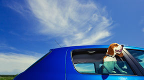 Travel. The cute beagle  travels in the blue car Royalty Free Stock Photos