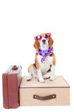 Travel. Beagle dog with suit cases as concept for travel on summer holiday or vacation Stock Images