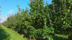 Travel along a row of apple trees stock video