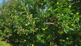 Travel along a row of green apple trees stock video footage