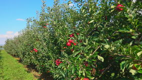 Travel along a row of green apple trees stock footage