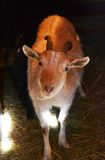 Travel. Animal goat country farm horn Stock Photos