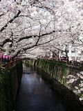 Cherry trees in Tokyo. Travel in Asia, Japan, Tokyo, cherry trees in bloom, many cherry blossoms on a small stream, colored lanterns stock images