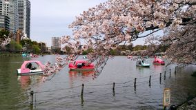 Cherry trees in Ueno park royalty free stock image