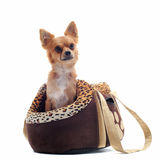 Travel bag and chihuahua Stock Images