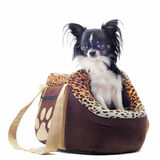 Travel bag and chihuahua Stock Photos