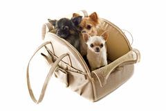 Travel bag and chihuahuas stock photography