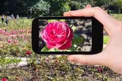 Rose flowers in garden of Kislovodsk City Park. Travel concept - tourist photographs of rose flowers in Kislovodsk National Park in Kislovodsk resort town in stock photography