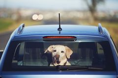 Travel with dog. Curious labrador retriever sitting in car and looking through window royalty free stock images