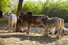 Travel India: Group of holy cows in Pushkar Stock Images