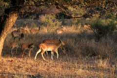 Travel India: spotted deer male and babies in Ranthambore National Park. Group of asian spotted deer female and calfs in afternoon light in grass Stock Photos