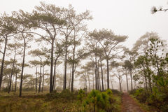 Travel in the mist. Treking in the mist through Pinus merkusii pine trees forest on Phu Kradueng national park, Thailand Royalty Free Stock Photo