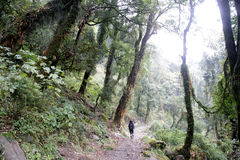 Travel Nepal: Trekking in rhododendron forest Stock Image