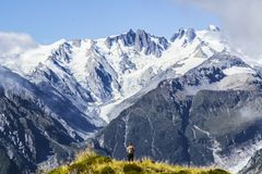 Travel New Zealand, Mount Fox. Scenic view of southern alps, mount cook and glaciers. Small person / tourist woman with hands up e. Njoying life. Outdoor/travel royalty free stock photo
