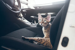Travel with pets. Cat is traveling in a car. Beautiful devon rex. Train your cat to travel together. Reducing Cat Stress during Car Rides. Cat is inside a car Stock Photo