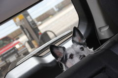 Car Pet. Traveling with pets in the back seat Royalty Free Stock Images