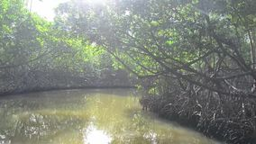 Travel on the river through mangrove forest.  stock video footage
