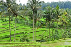 Stunning view on green rice terraces in Bali Royalty Free Stock Photo