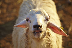 Travel sheep farm. Closeup of a sheep face in sunlight Royalty Free Stock Photo