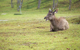 Travel in thailand. A deer open the mouth Stock Image