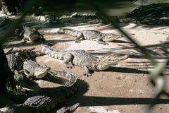 Travel to Asia, Vietnam: crocodiles stock photo