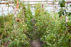 Last harvest of tomatoes in greenhouse in autumn royalty free stock photos