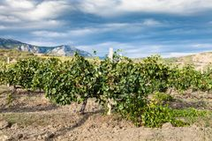 Vineyard of winery farm Alushta in mountain valley Stock Images