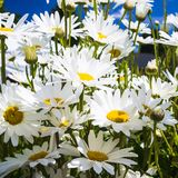 Many daisy flowers close up. Travel to France - many daisy flowers in Cotes-d'Armor department of Brittany in sunny summer day Stock Photo