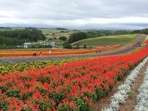 Travel to Furano. A beautiful flower farm in Hokkaido, Japan Stock Photography