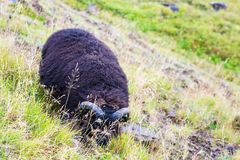 Black icelandic sheep on mountain slope in Iceland Royalty Free Stock Photography
