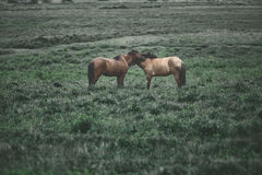 Couple horses in a field Stock Image