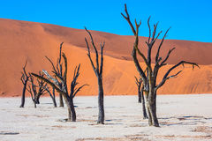 Travel to Namibia. Namib-Naukluft National Park. White bottom of dried-up lake surrounded by orange dunes. Morning long shadows of dry trees Stock Images
