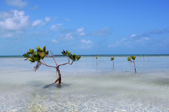 Travel to Paradise Caribbean gulf. The mangrove forest in a Caribbean stock photo