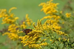 Autumn Monarch. A travel worn Monarch Butterfly feeds on full bloomed Goldenrod on a warm autumn morning royalty free stock photos