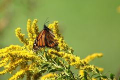 Autumn Monarch. A travel worn Monarch Butterfly feeds on full bloomed Goldenrod on a warm autumn morning royalty free stock photo