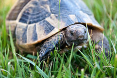 Traveler. Tortoise creeping to the grass Stock Images