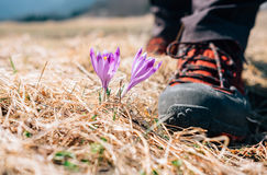Traveler can step on tender crocus flower on mountain field Royalty Free Stock Photo