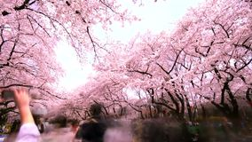 The traveler and Cherry blossom in Ueno Park, Time lapse stock video