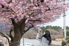 Traveler female is using camera take a photo of cherry blossoms Royalty Free Stock Photo