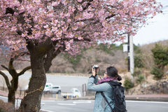 Traveler female is using camera take a photo of cherry blossoms Royalty Free Stock Photos