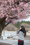 Traveler female is using camera take a photo of cherry blossoms Royalty Free Stock Images