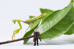 Traveler figurine and green mantis on white background. Senior traveller in tropical nature. Exotic animal scene with miniature doll. Travel in tropics concept Royalty Free Stock Image