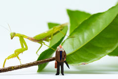 Traveler figurine and green mantis on white background. Senior traveller in tropical nature. Exotic animal scene with miniature doll. Travel in tropics concept Stock Photography