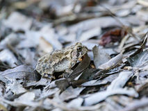 The Traveler. A Fowler`s Toad, Anaxyrus fowleri, blending into the leaves as he makes his way to a water source for breeding Stock Image